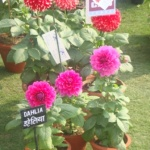 DSC00326 - CHW Flower Show